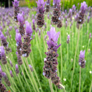 Spanish Lavender - Lavandula stoechas 'Otto Quast'