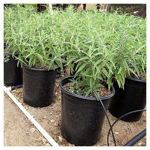 Midnight Mexican Sage  - Salvia leucantha 'Midnight'
