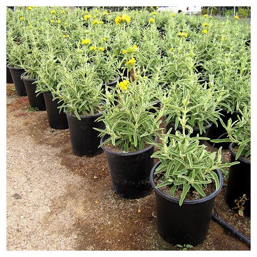Jerusalem Sage  - Phlomis fruticosa