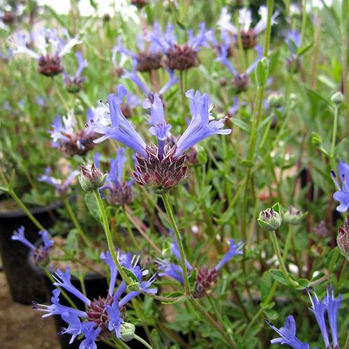 Blue Sage (Salvia clevelandii 'Winifred Gilman')