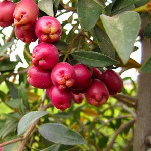 Australian Brush Cherry - Eugenia paniculata (myrtifolia)