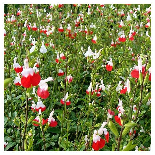 Hot Lips Sage  - Salvia microphylla 'Hot Lips'