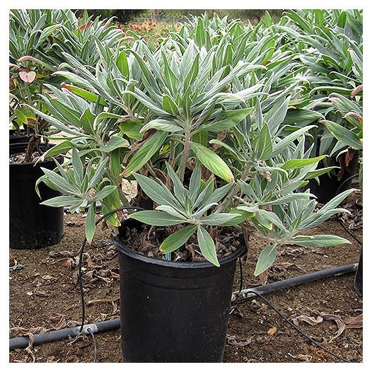 Pride of Madeira  - Echium Fastuosum