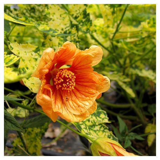 Thompson's Flowering Maple  - Abutilon pictum 'Thompsonii'