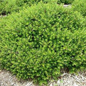 Emeral Carpet Manzanita - Arctostaphylos densiflorus 'Emerald Carpet'