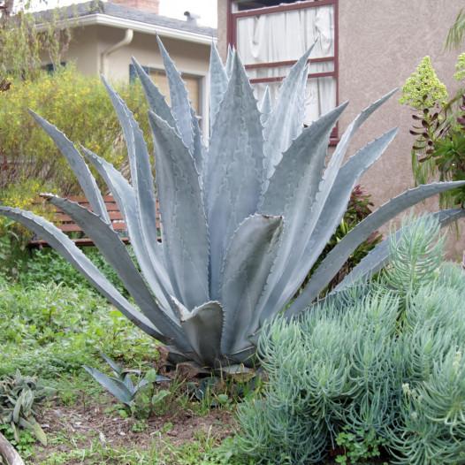 Century Plant  - Agave americana