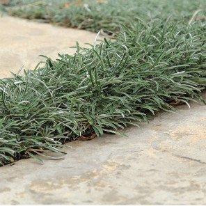 Silver Carpet - Dymondia Margaretae