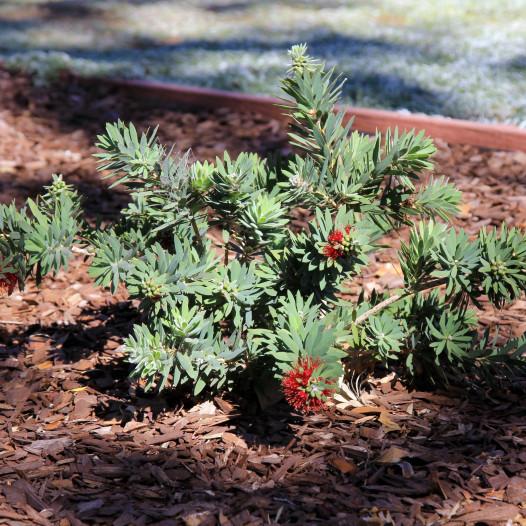 Little John Bottlebrush  - Callistemon citrinus