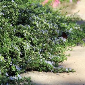 Prostrate Rosemary - Rosmarinus officinalis Prostratus