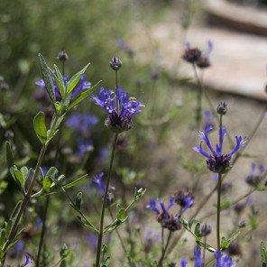 Cleveland Sage - Salvia clevelandii