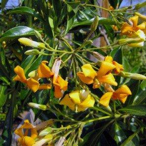 Sweetshade Tree - Hymenosporum Flavum