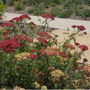 Paprika Common Yarrow - Achillea millefolium 'Paprika'