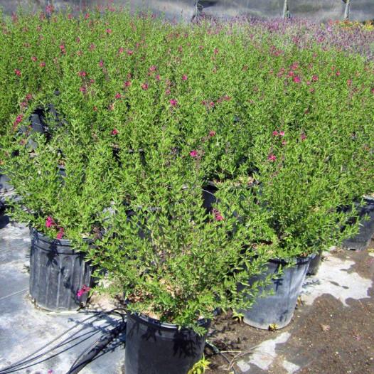 Autumn Sage - Red  - Salvia Gregii