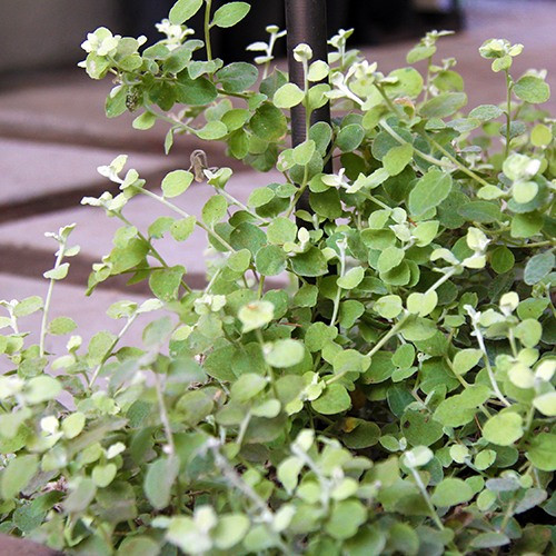 Limelight Licorice Plant