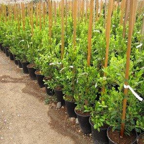 Indian Laurel Fig - Ficus retusa nitida