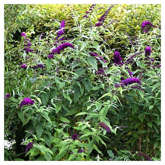 Butterfly Bush  - Buddleja davidii 'Black Knight'