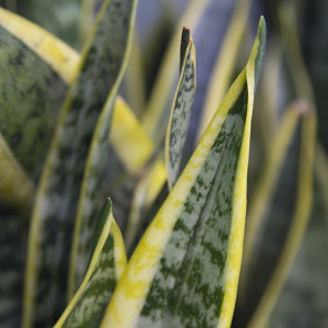 Snake Plant - Sansaveria trifasciata 'Laurentii'