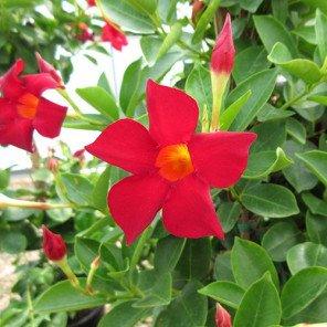 Red Mandavillea - Dipladenia Rio 'Deep Red'