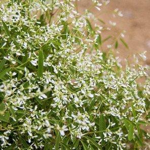 Diamond Frost Spurge - Euphorbia hypericifolia 'Diamond Frost'
