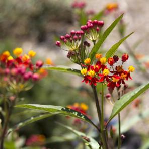Tropical Milkweed - Asclepias curassavica