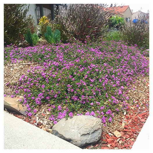 Purple Trailing Lantana  - Lantana montevidensis