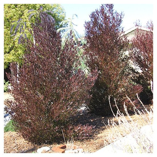 Purple Hopseed Bush  - Dodonaea Viscosa Purpurea
