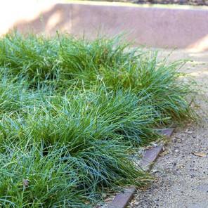 Berkeley Sedge - Carex divulsa