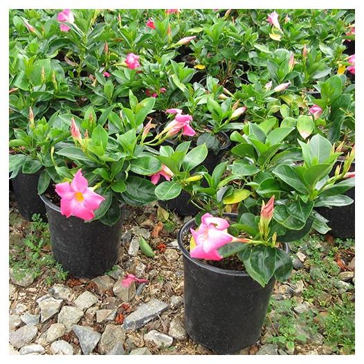 Pink Mandevillea  - Dipladenia sp.