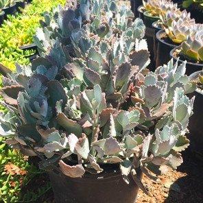 Flower Dust Plant - Kalanchoe pumila