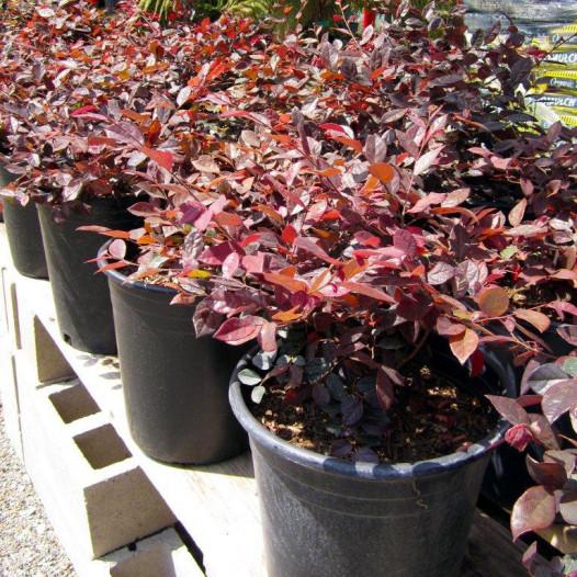 Red Chinese Fringe Flower  - Loropetalum chinense rubrum Burgundy