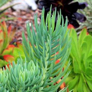 Narrow-Leaf Chalksticks - Senecio cylindricus