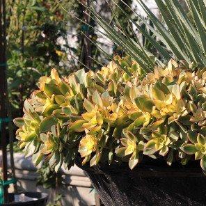Kiwi Aeonium - Aeonium 'Kiwi'