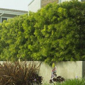 Fern Pine - Podocarpus Gracilior