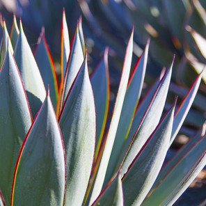 Blue Glow Agave - Agave 'Blue Glow'