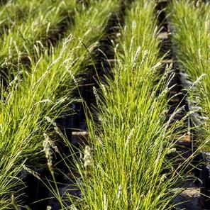 Autumn Moor Grass - Sesleria autumnalis