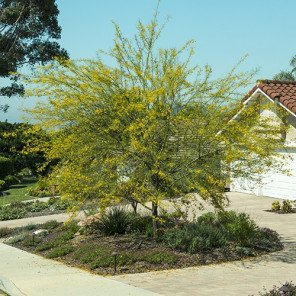 Palo Verde - Cercidium x Desert Museum