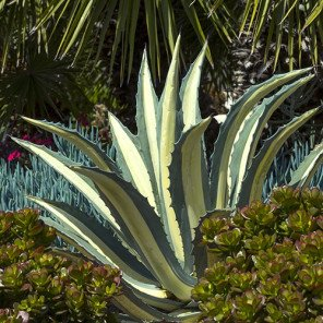 White-Striped Century Plant - Agave americana var. medio-picta 'Alba'