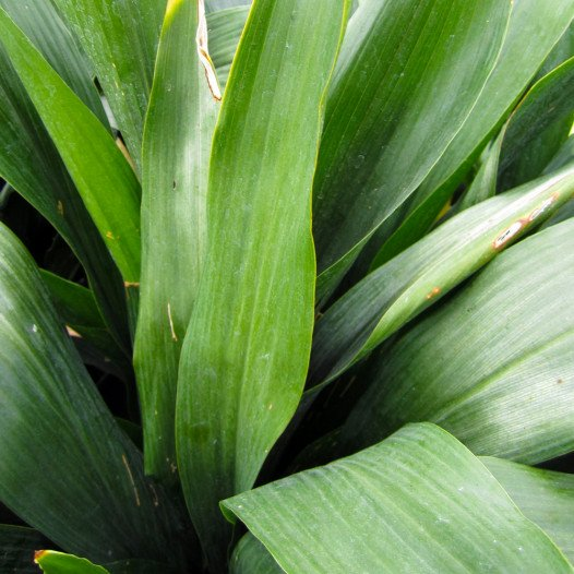 Cast Iron Plant  - Aspidistra elatior