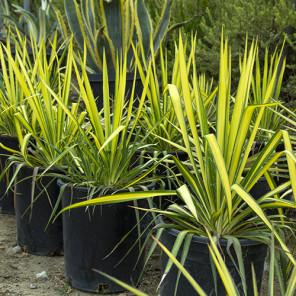 Golden Sword Yucca - Yucca filamentosa 'Golden Sword'