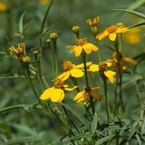 Mexican Marigold - Tagetes lemmonii