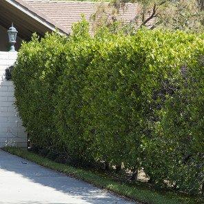 Carolina Cherry Laurel - Prunus caroliniana