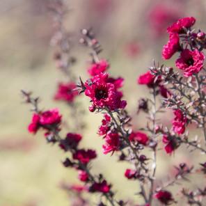 Ruby Glow New Zealand Tea Tree - Leptospermum scoparium 'Ruby Glow'