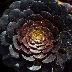 Black Rose Aeonium - Aeonium arboreum 'Zwartkop'