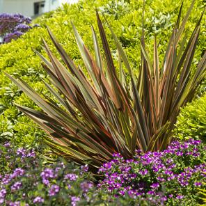 Sundowner New Zealand Flax - Phormium 'Sundowner'