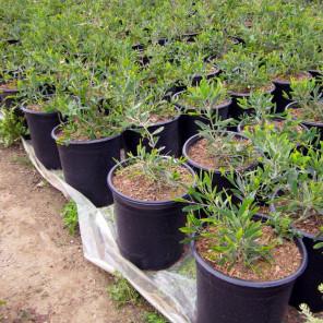 Trailing Acacia - Acacia redolens