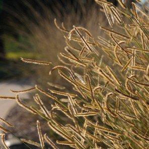 Blonde Ambition Blue Grama Grass - Bouteloua gracilis 'Blonde Ambition'