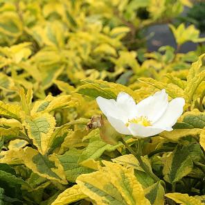 Mickey Rockrose - Cistus x hybridus 'Mickey'