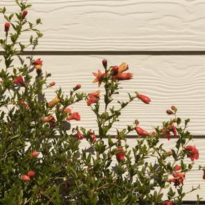 Dwarf Pomegranate - Punica granatum 'Nana'