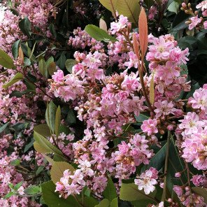 Majestic Beauty Indian Hawthorn - Rhaphiolepis 'Majestic Beauty'