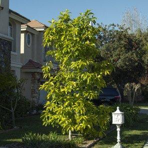 White Champaca - Magnolia x alba